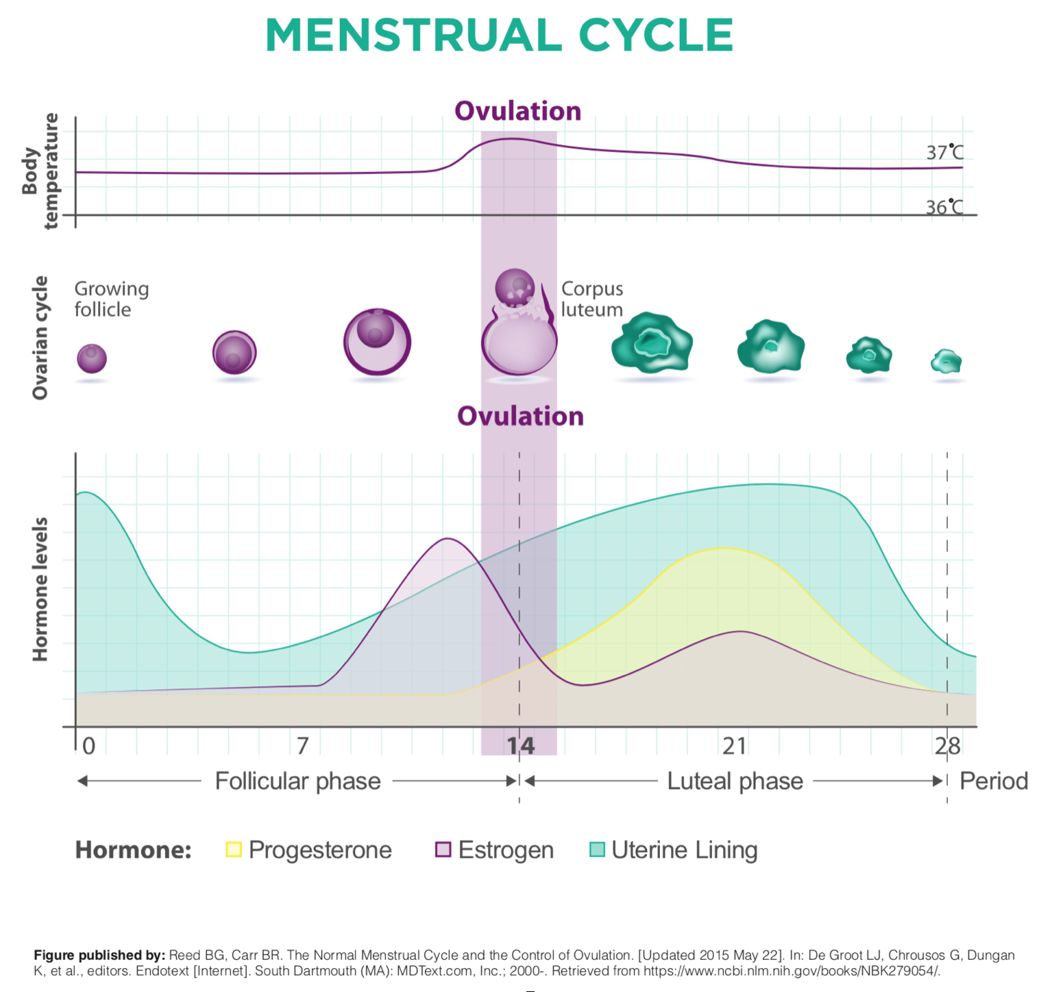 the chart below, which illustrates each of these phases, including when  the thinning and shedding of the uterine lining occurs and the ovulation  window